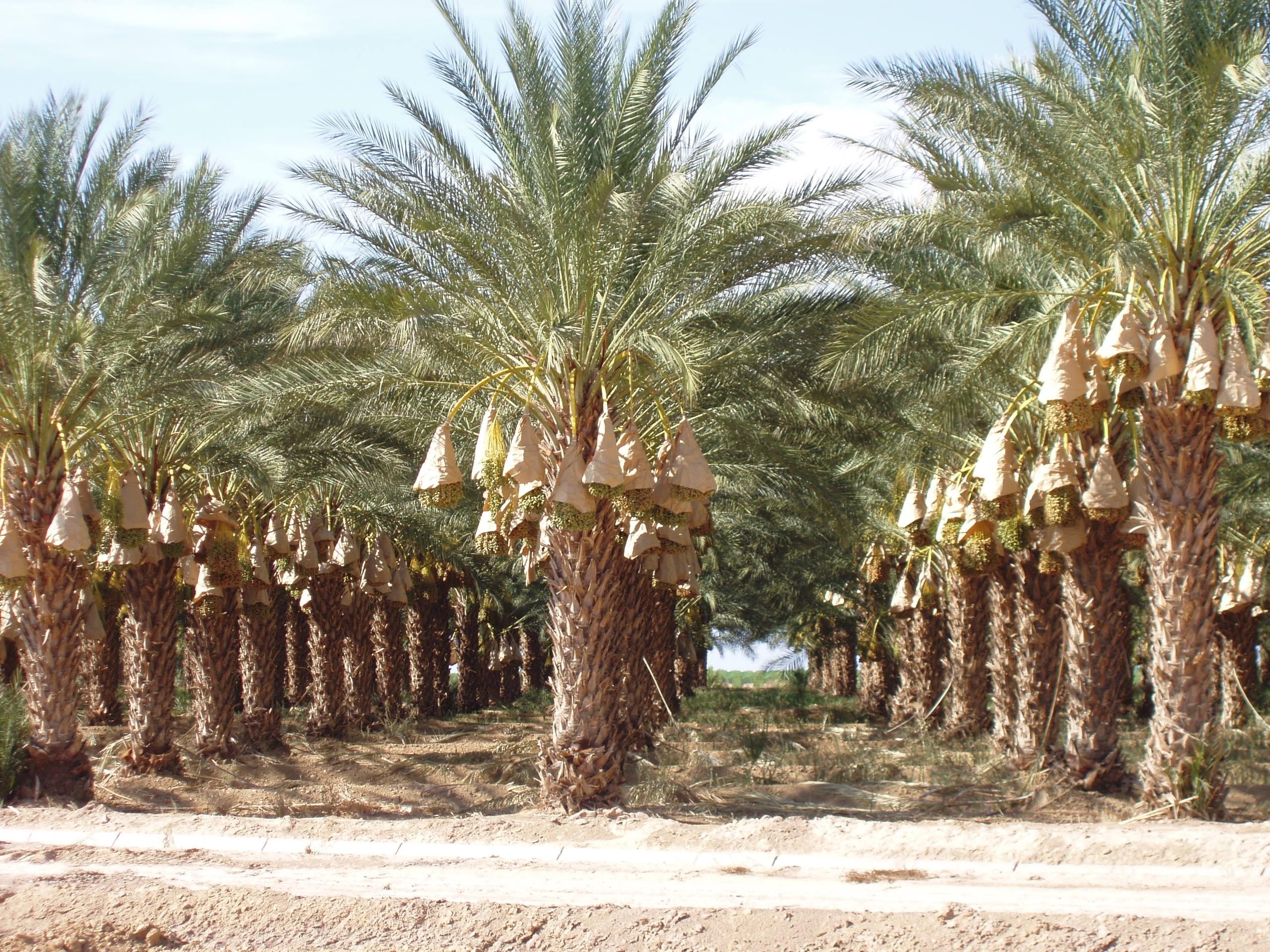 California Date Palm