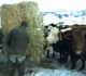 Cattle Being Fed in Wyoming